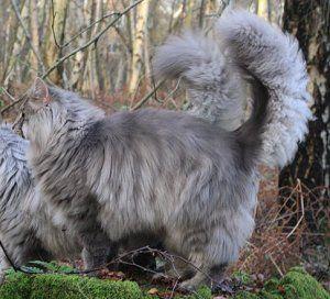 Norwegian Forest Cat Colours Norwegian Forest Cat Society Uk Blue
