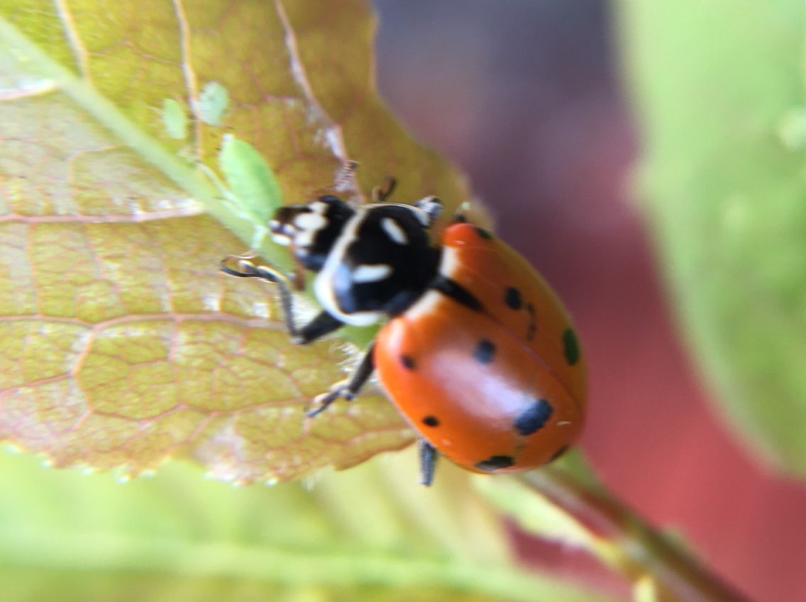 Natural 0pest Control Ladybug Eating Aphids They Love To Eat