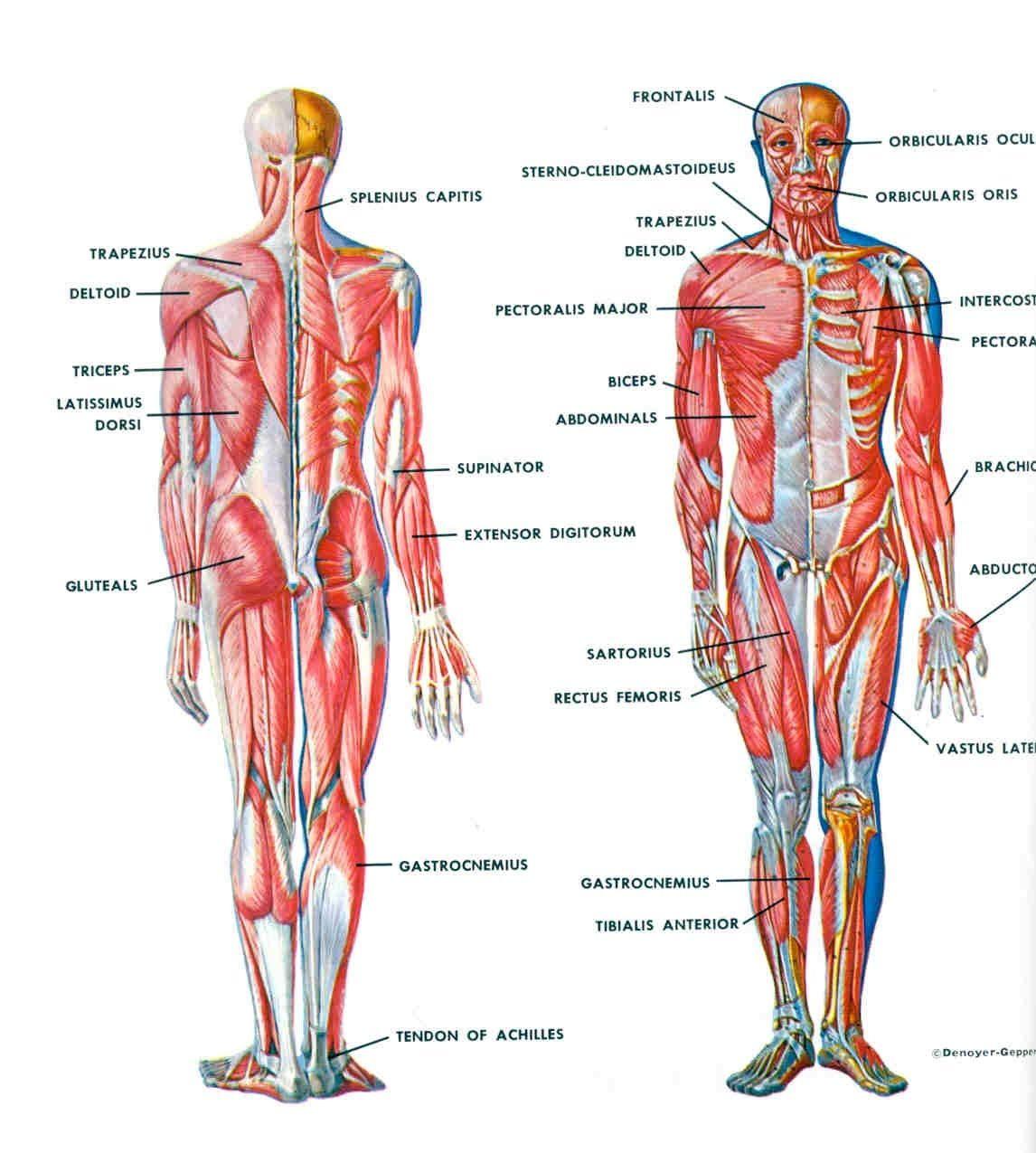 Muscle Anatomy Human Body Diagram Periodic Diagrams Science