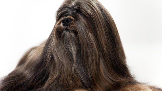 Lhasa Apso Dogs 101 Lhasa Apso Lhasa Dog Breed Selector