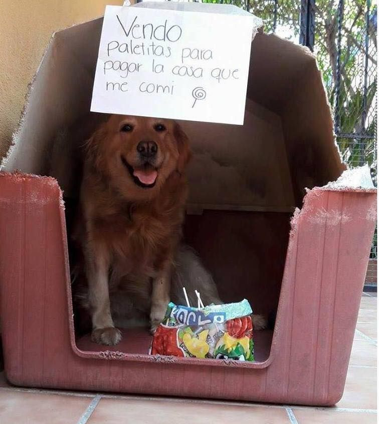 Mascotas Que Venden Golosinas Para Pagar Lo Que Rompieron Perros Graciosos Perros Divertidos Memes Perros