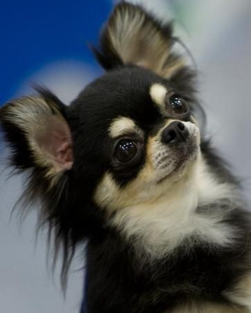 Jessica Simon Chihuahuas Akc Breeder Of Champion Chihuahuas Usa