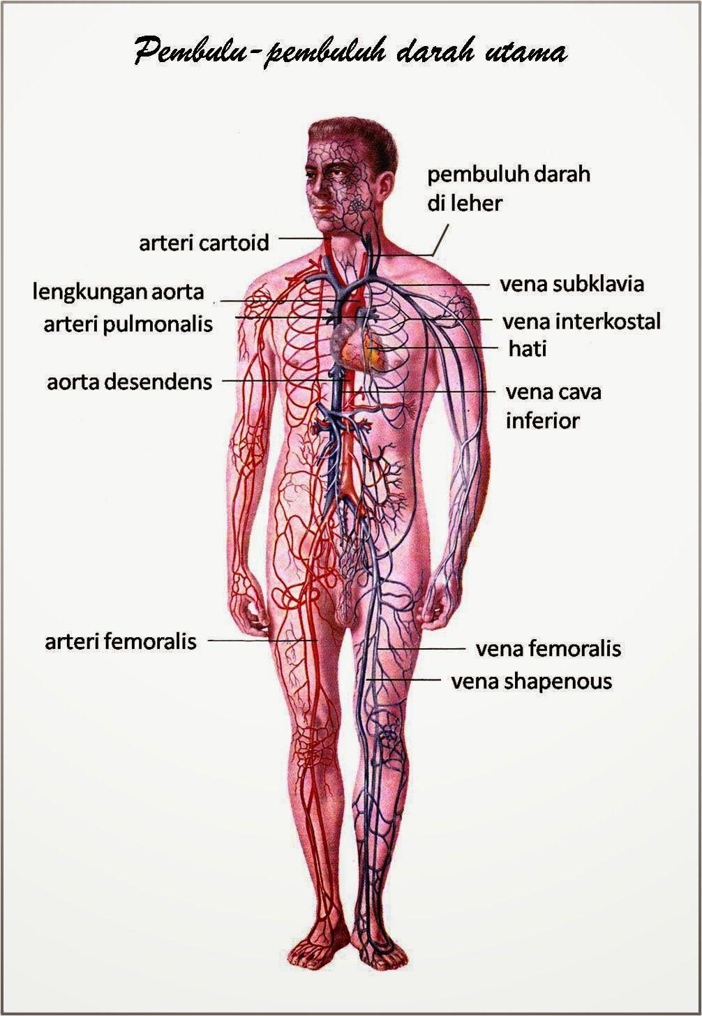 Gambar Otot Pada Manusia : gambar, manusia, SISTEM, PEREDARAN, DARAH, MANUSIA, Tubuh, Manusia,, Anatomi,, Manusia