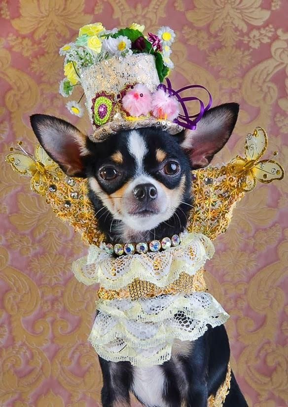 Fashionable Dogs おしゃれまとめの人気アイデア Pinterest Tetsuya Maruyama チワワ ペット 犬