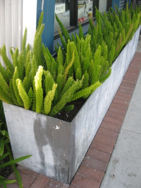 Fox Tail Ferns In Metal Planter Shade Tolerant Plants Outdoor Plants Planting Flowers