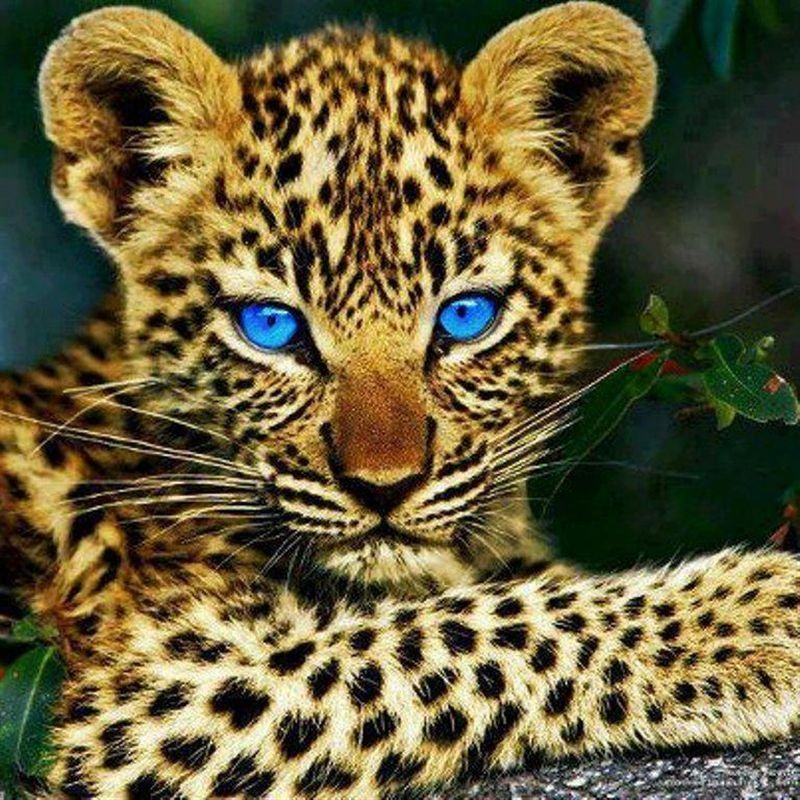 blaue Augen Tiere schön, Wilde tiere, Raubtiere