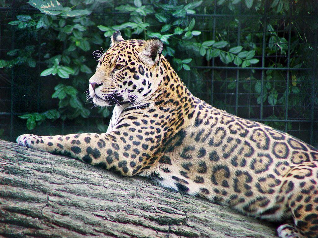 Pin On Felidae 20 Jaguar Panthera Onca