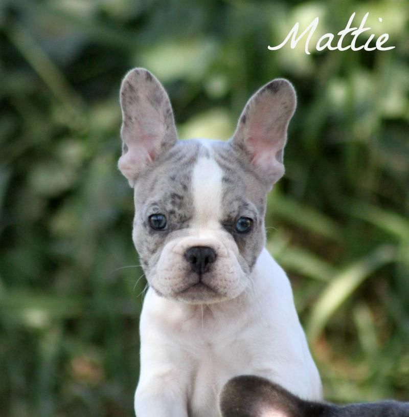 This Pups Will Change Your Mood The Most Beautiful Frenchies In