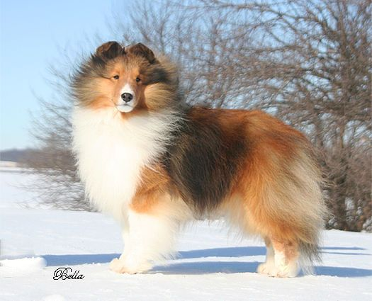 Adair Shelties Is An Akc Breeder Of Merit Located In Northern