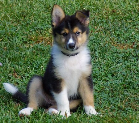 Collie Husky Mix Can Someone Please Get Me This Creatures