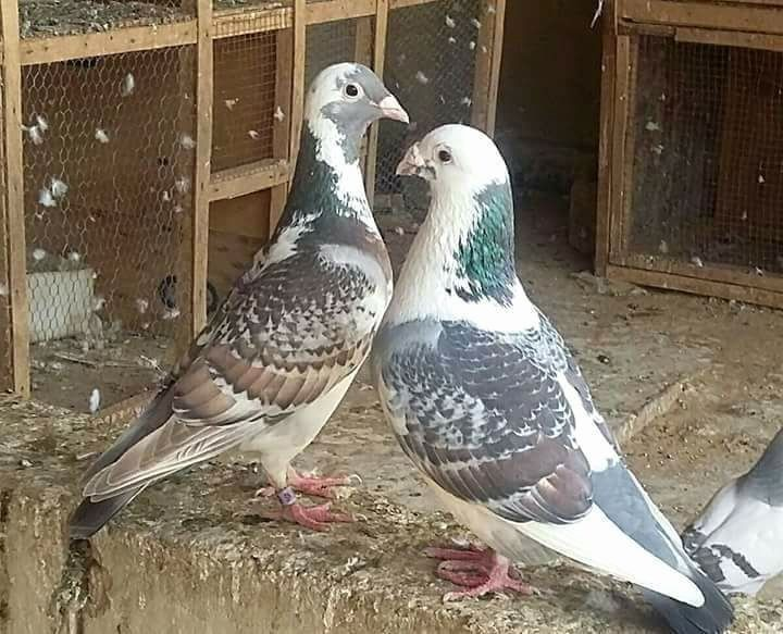 Pin by Asif Athwal17🇵🇰🇲🇾 on AB,s piegon   Racing pigeon ...