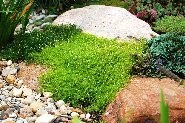 ирландский мох выращивание и уход