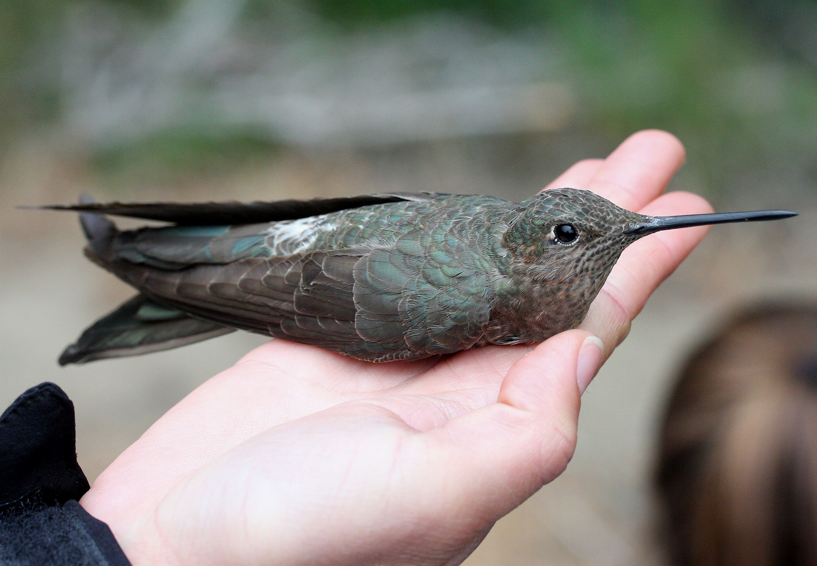 the giant hummingbird patagona gigas is the largest member of the