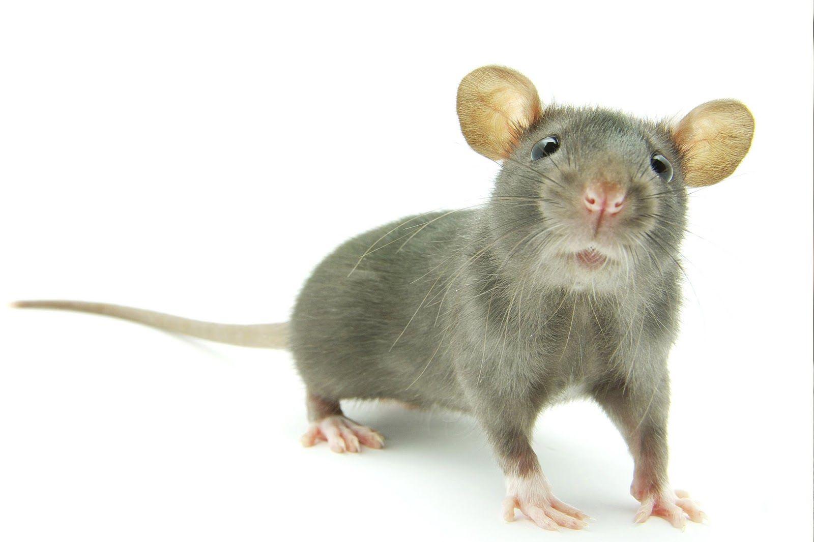 صور فأر معلومات عن الفأر واشكاله بالصور الفأر نوع من انواع الحيوانات وهو من فصيلة الفأريات من القوارض واكثر انواع الفأران الم Animals Keep Bugs Away Rats