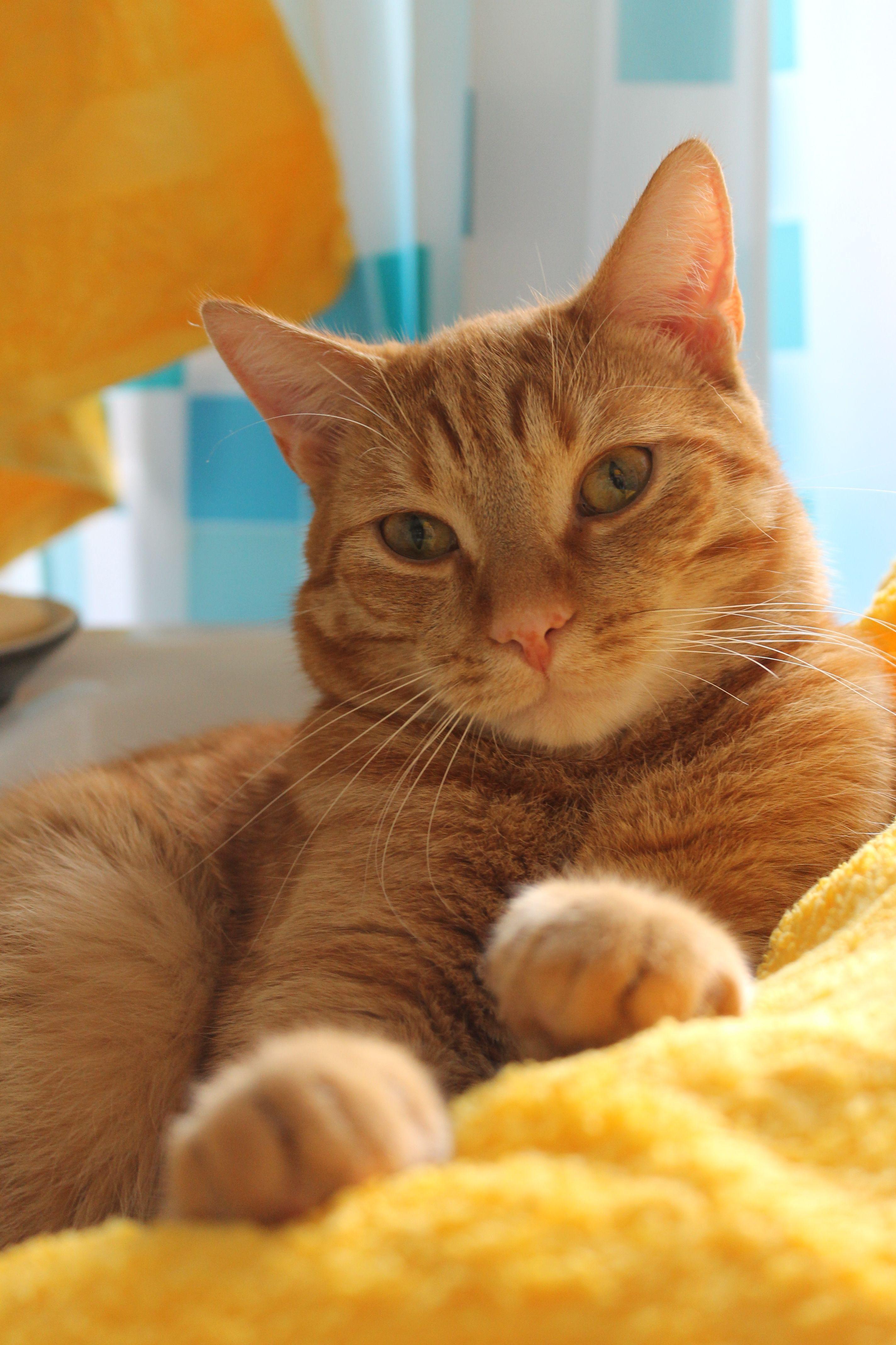 Yellow Towels Ginger Bee Catbreeds Kucing Lucu Kucing Lucu