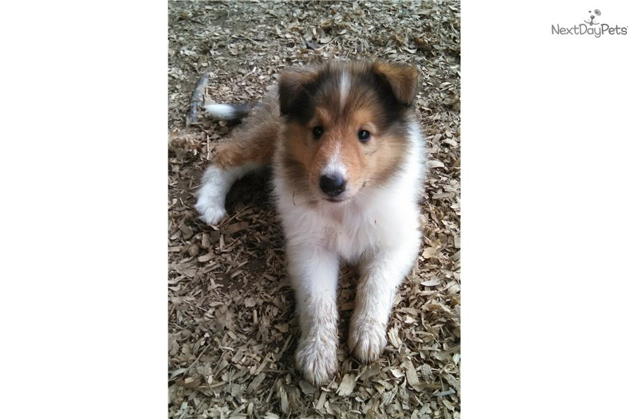 Collie Puppy For Sale Near Nashville Tennessee 5502f14c Abc1 Puppies Collie Puppies Dog Adoption