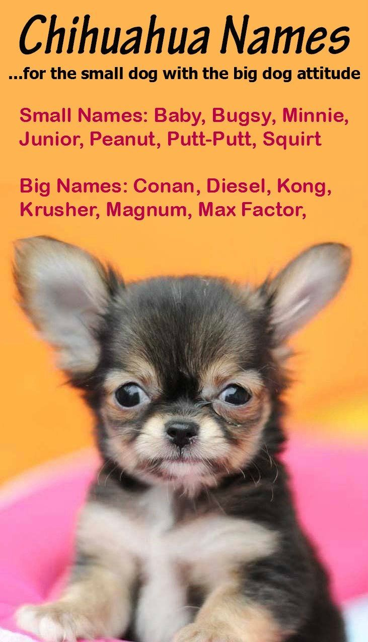 Chihuahua Names Big Names For The Little Guy Chihuahua Names