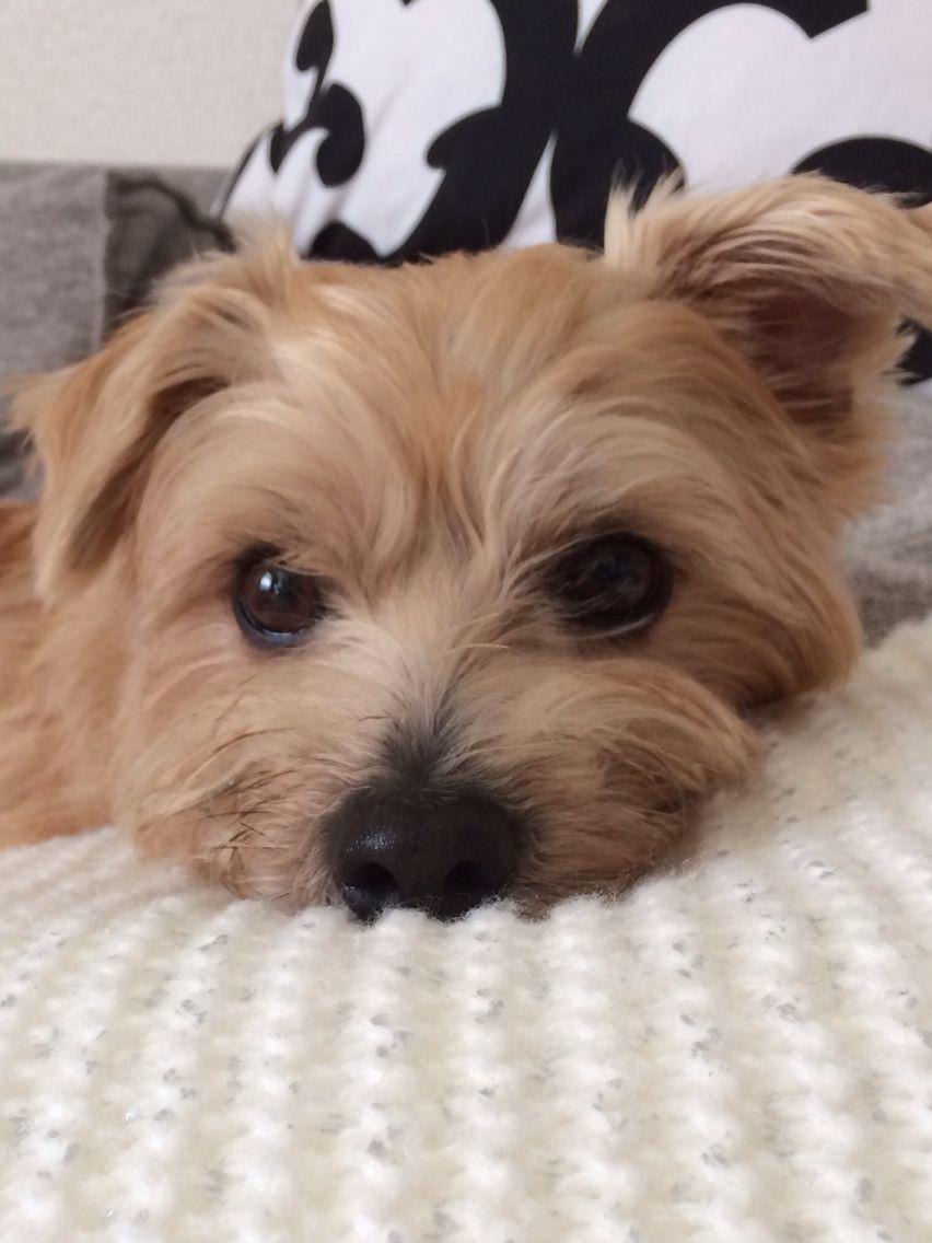 Norfolk Terrier - I need a scruffy little friend like him ...