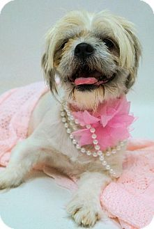 Virginia Beach Va Shih Tzu Meet Off Site Foster 1407 0384 Puddles A Dog For Adoption Http Www Adoptapet Com Pet 11479 Pets Dog Adoption Kitten Adoption