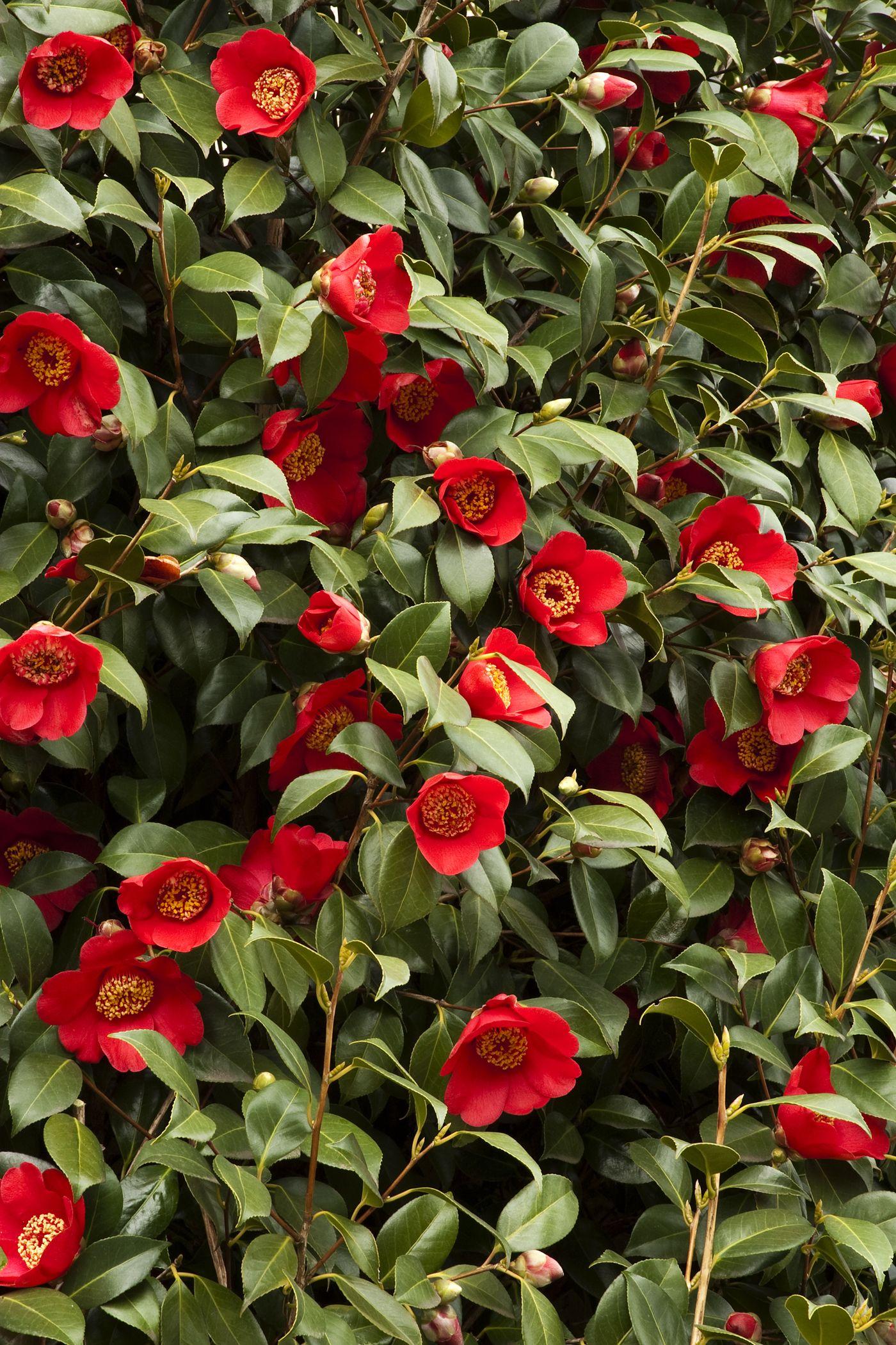 Spring S Promise Ice Angels Camellia Monrovia Spring S Promise Ice Angels Camellia Deer Resistant Plants Camellia Plant Japanese Flowers
