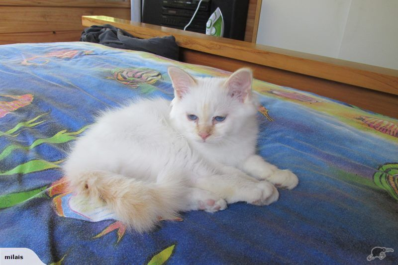 BIRMAN Kitten NZCF Reg Red point male Trade Me (With