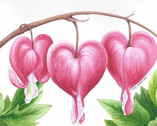 Bleeding Heart Flowers Poster By Cindy Lenker In 2021 Flower Drawing Bleeding Heart Flower Flower Art