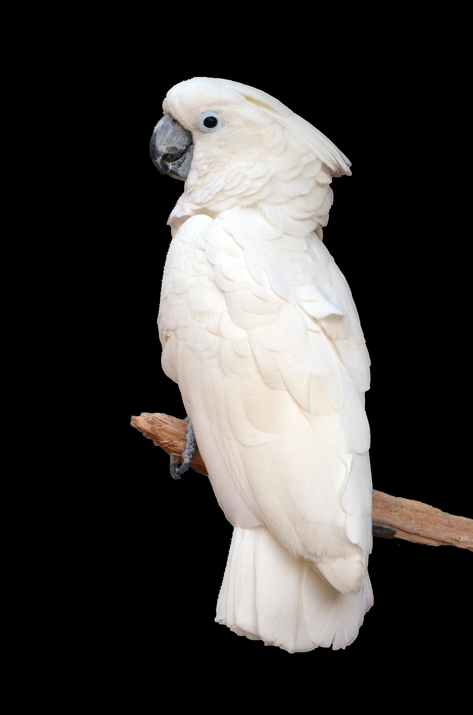 Kuvahaun tulos haulle parrot white