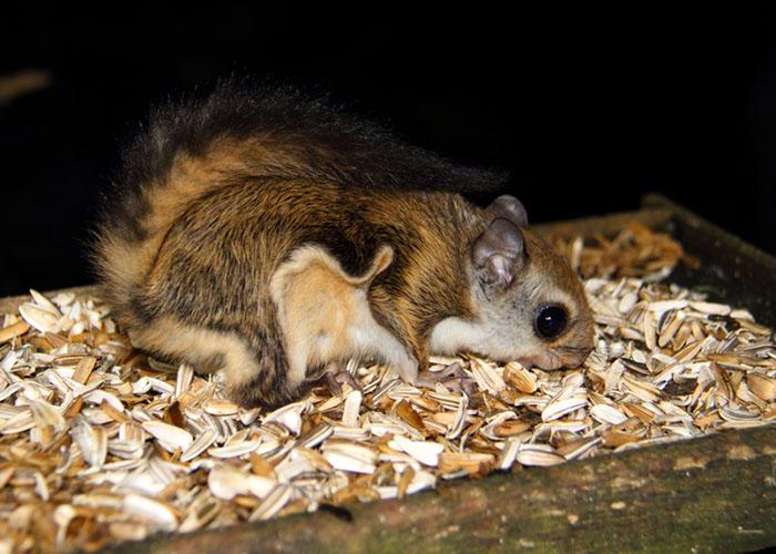 Japanese Squirrel Ardilla Características Tipos Hábitat Y Más Fotos Y Cuidados Ardilla Voladora Ardillas Caracteristicas De La Ardilla