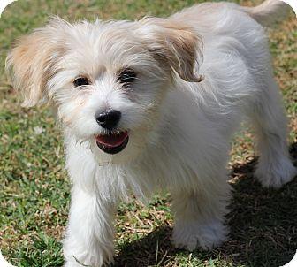 Havanese Maltese Mix Puppy For Adption In San Pedro California