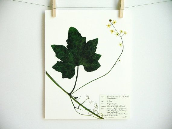 Botanical Print of Coast Manroot by DayThree Creations