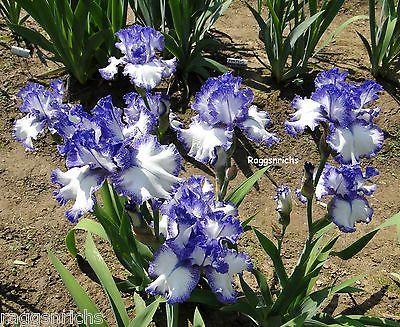 Tall Bearded Iris ~INK PATTERNS~