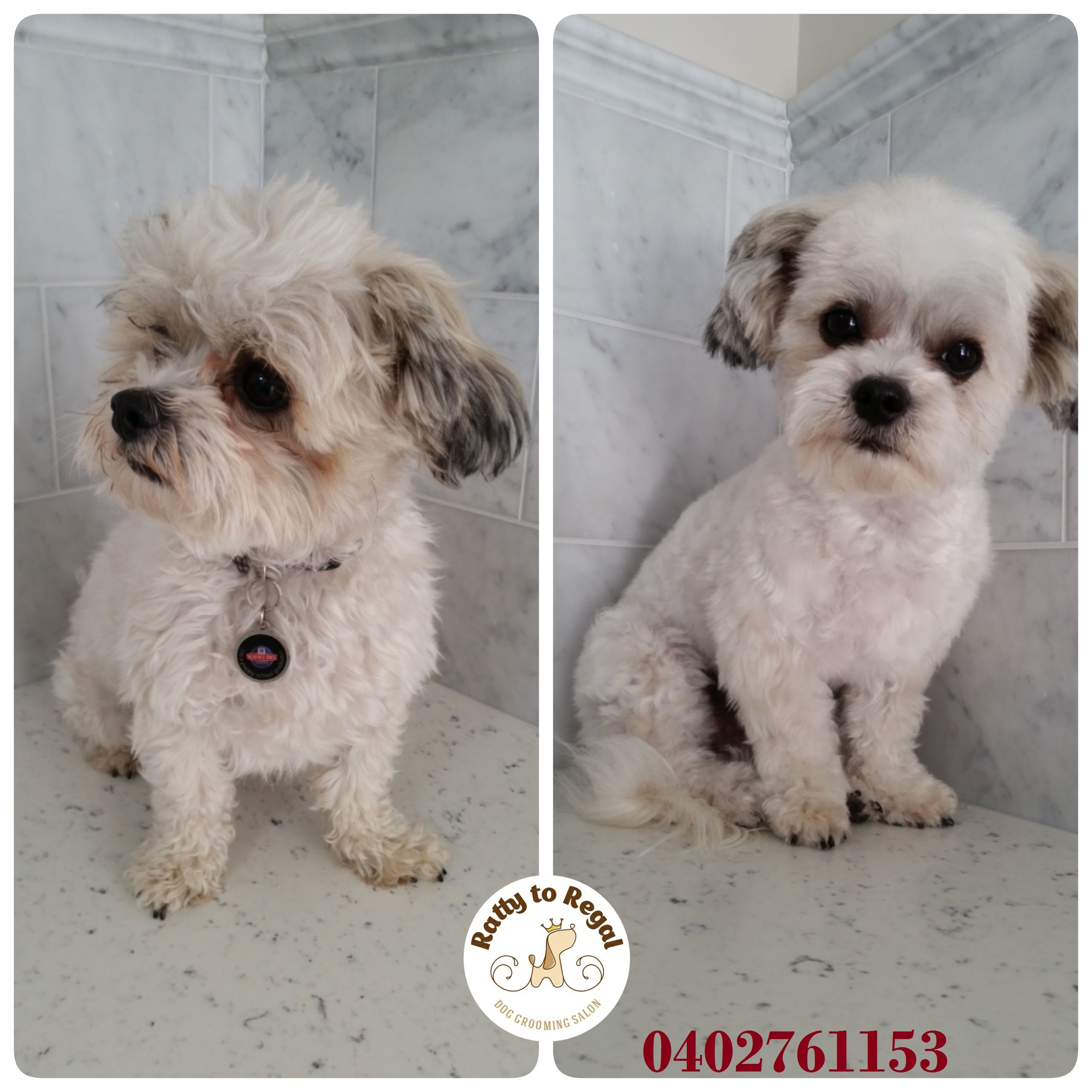 Milo, Maltese x Shih Tzu, 1 year young. Full Groom. Website: https://rattytoregal.wixsite.com/rattytoregal Facebook: https://www.facebook.com/rattytoregal/