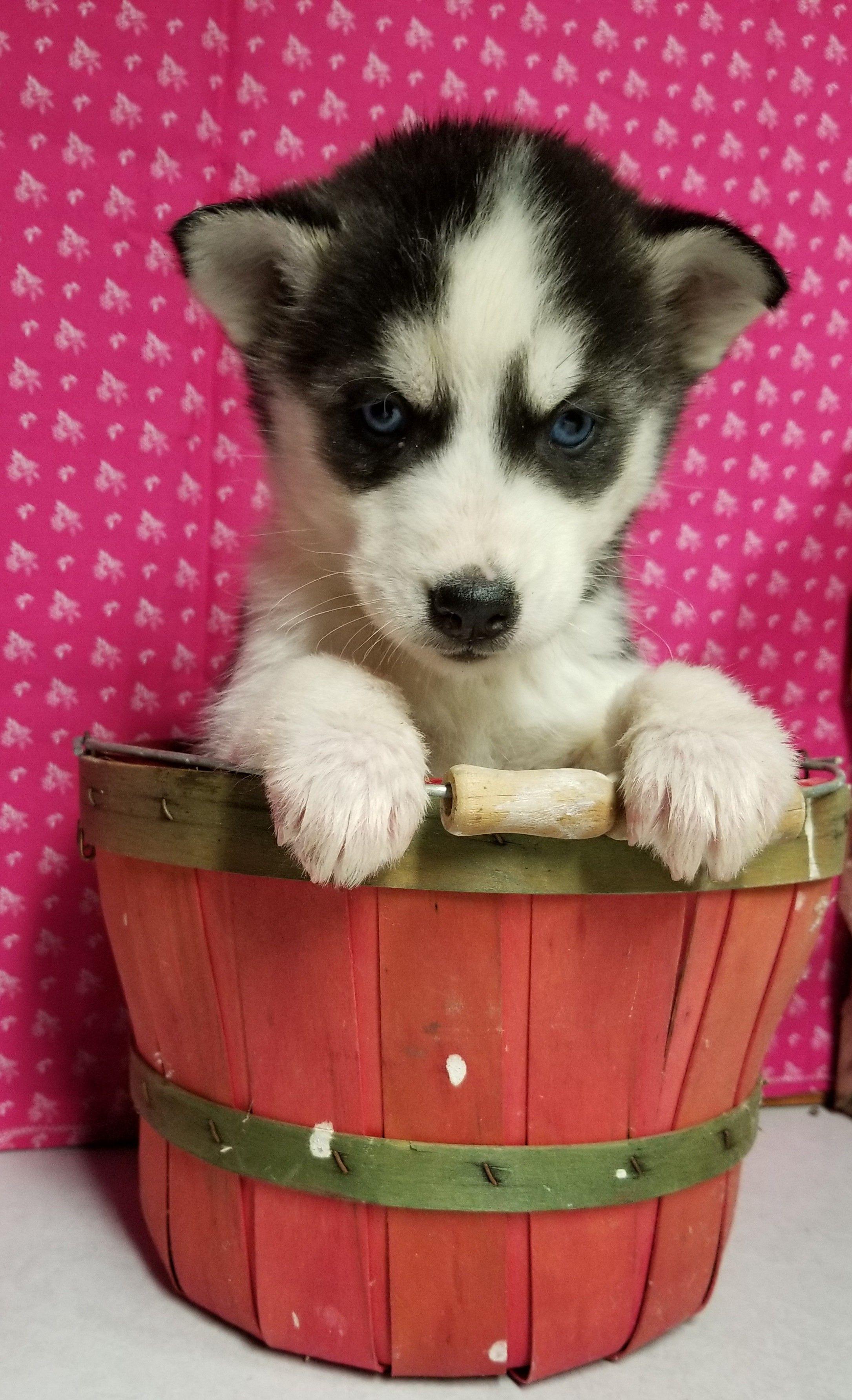 Puppy Finder Puppy Litter Puppies Husky Puppies For Sale