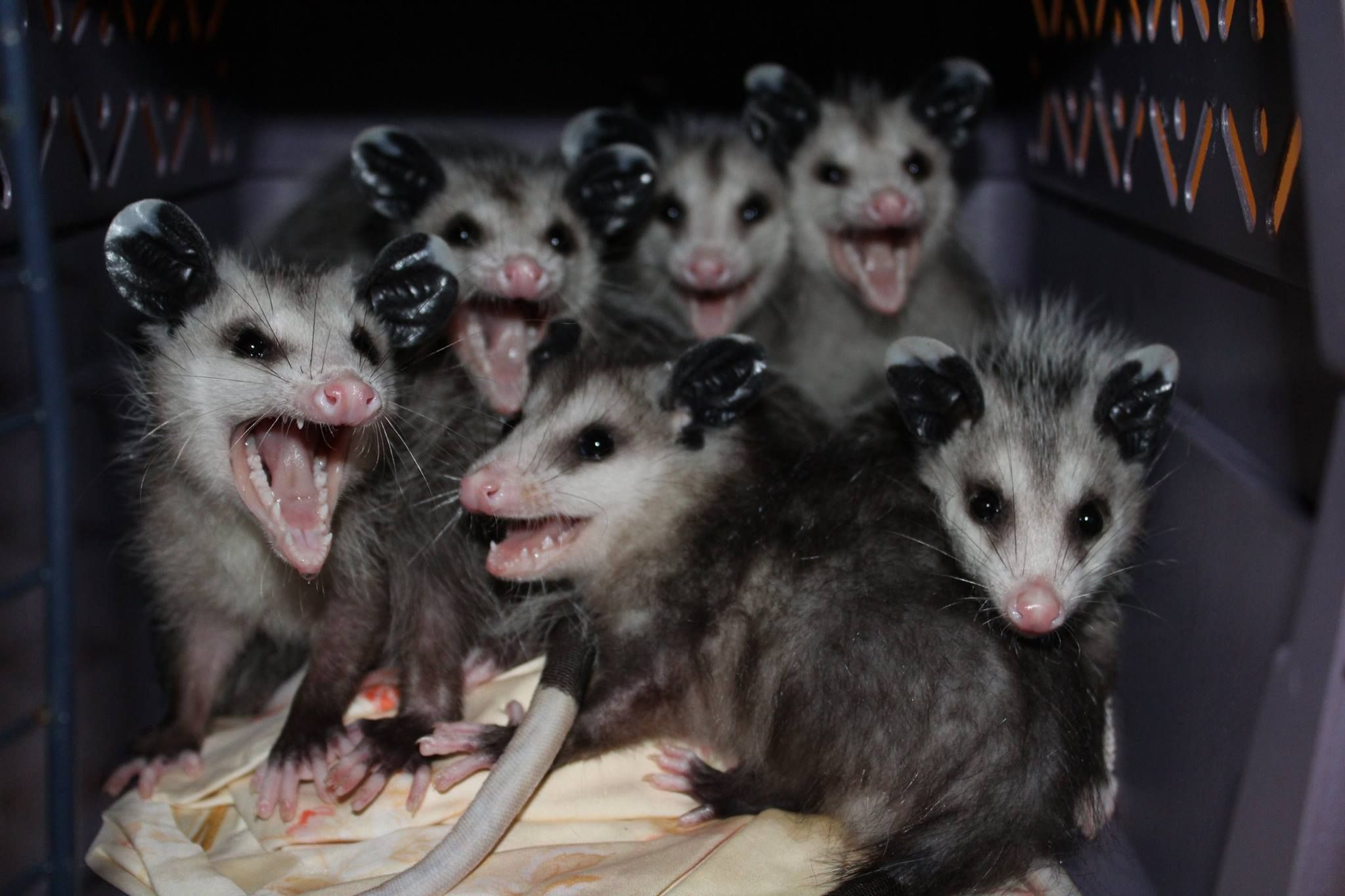 by south florida wildlife center opossums have a lower body