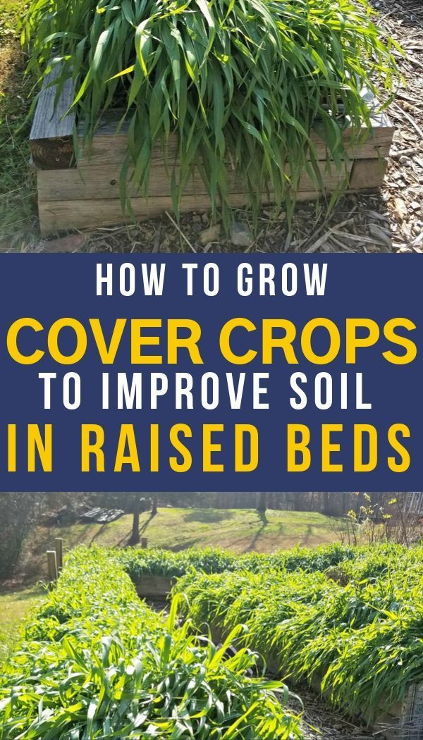 How to Use Cover Crops in Raised Beds is part of Garden soil, Organic vegetable garden, Container gardening vegetables, Soil improvement, Growing vegetables, Organic gardening tips - Learn the advantages of using cover crops in raised beds or any home garden  How to cover crops work and what are the best choices for your home garden  Improve crop yields tremendously