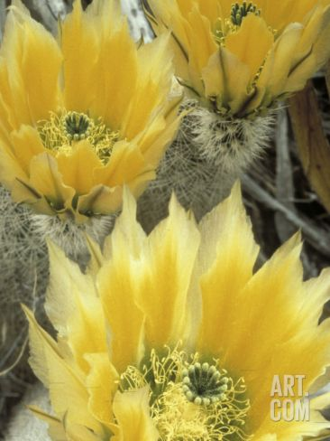 Flowers in Chihuahuan Desert, Big Bend National Park, Texas, USA Photographic Print by Scott T. Smith at Art.com