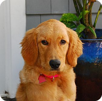 Torrance Ca Golden Retriever Meet Ruby A Puppy For Adoption