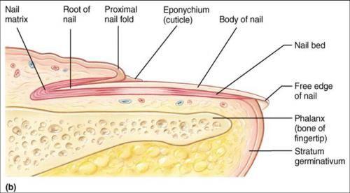 Nail Diagram Blank Bed