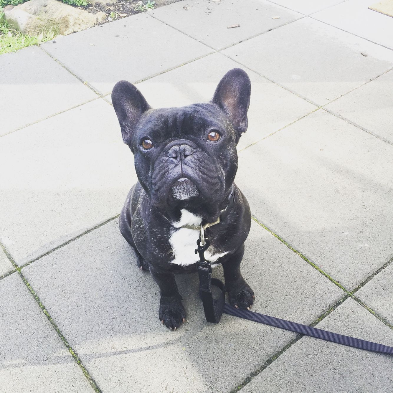 I Ll Sit For Treats Bart The French Bulldog French