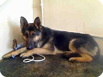 A4563552 My Name Is Otis I Am A 3 Yr Old Altered Male Black Tan German Shepherd My Previous Adopter Returned M Kitten Adoption Dog Adoption Shepherd Dog Mix