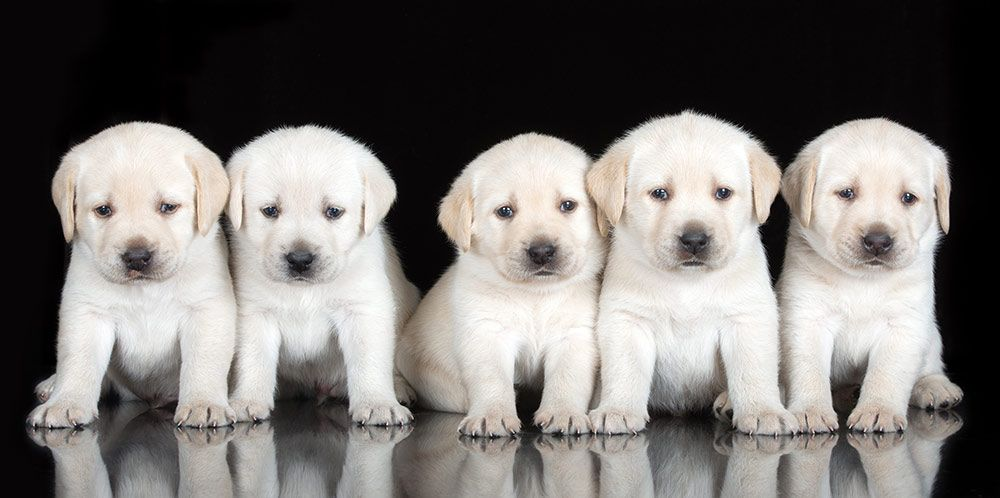 Labrador Retriever Vs Golden Retriever Which Breed Is Best