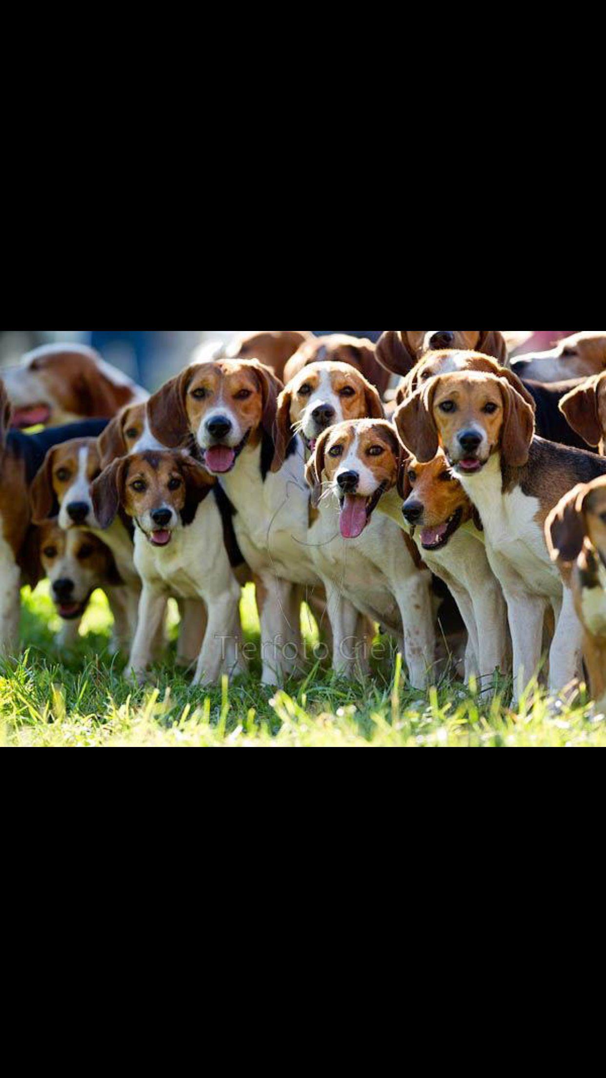 Beagle Howling Singing Loudly Cute Beagles Baby Beagle Beagle
