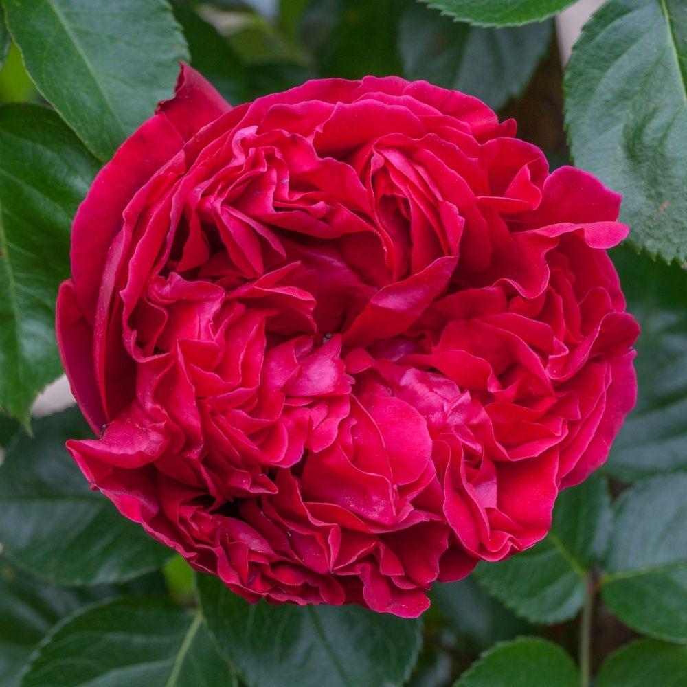 rosier grimpant grandes fleurs pourpres exhalant un. Black Bedroom Furniture Sets. Home Design Ideas