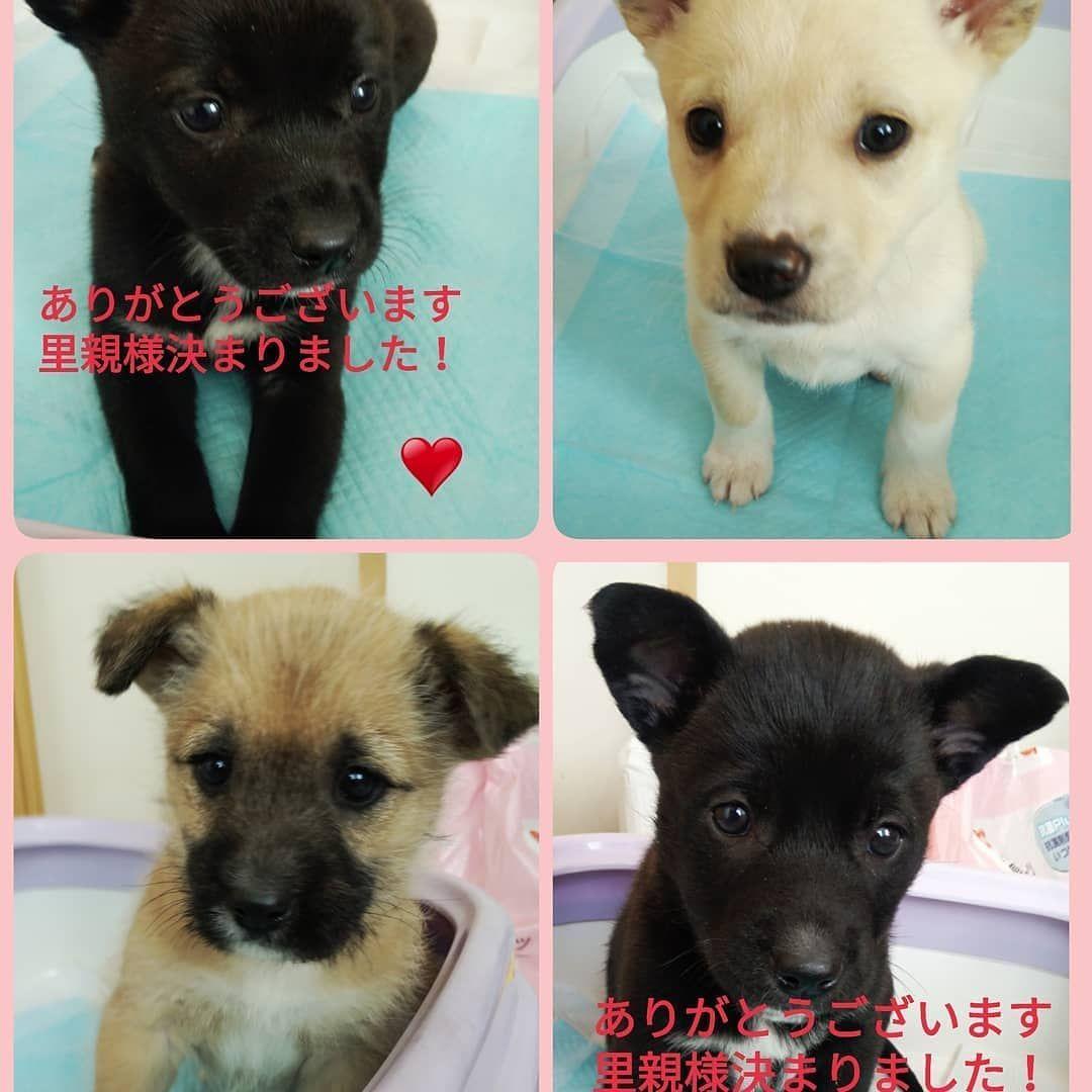 Watch The Best Youtube Videos Online Repost Yamaminori4655 長門保健所に収容されレスキューきた子犬4匹 クロちゃん2匹は里親さんが決定しました あと2匹引き続き里親さん Labrador Labrador Retriever Animals