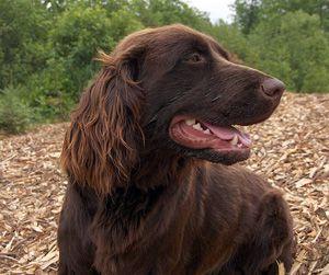 German Long-haired Pointer Puppy Dog [Chien d'arret Allemand à Poil Long / Deutsch Langhaar / Deutscher Langhaariger Vorstehhund]