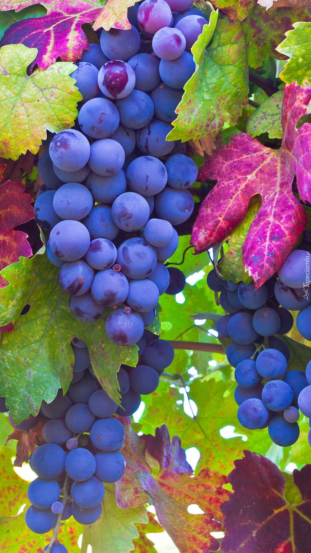 Dojrzale Kiscie Winogron Na Galazce Tapeta Na Telefon Fruit Grapes Wine