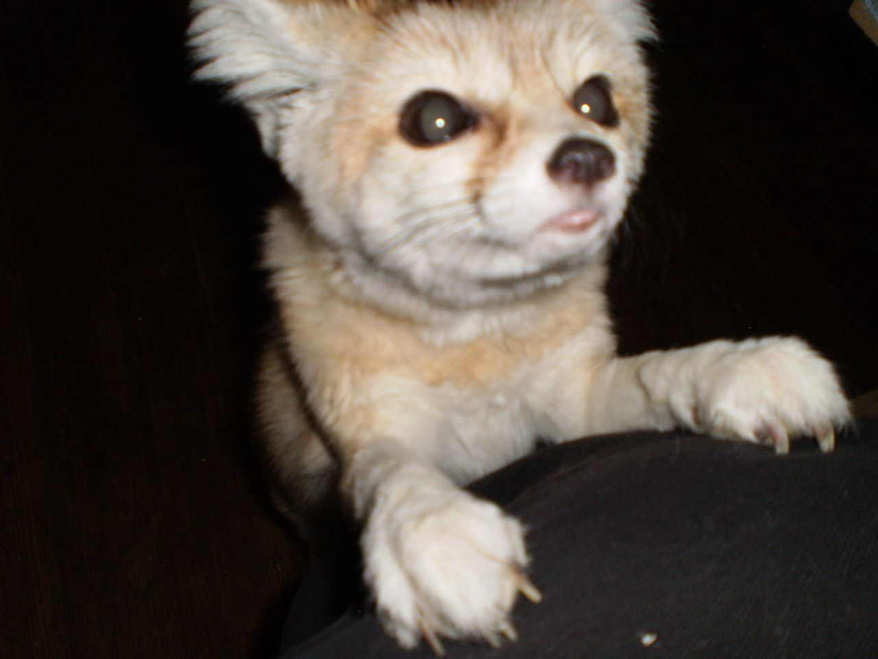 On this one Wiley is trying a cat impersonation. ;-) Wiley is one of 4 fennec foxes at Critter Camp Exotic Pet Sanctuary.