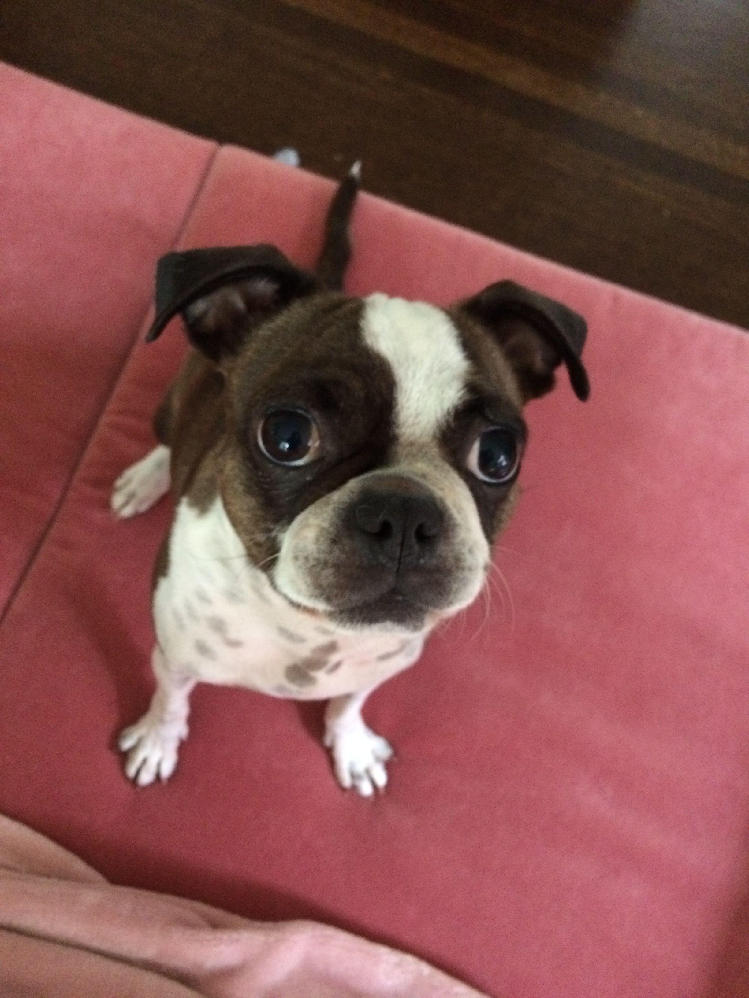 Julep Aka Skeeterbug 3 4 Boston Terrier 1 4 Pug Bug Winnie