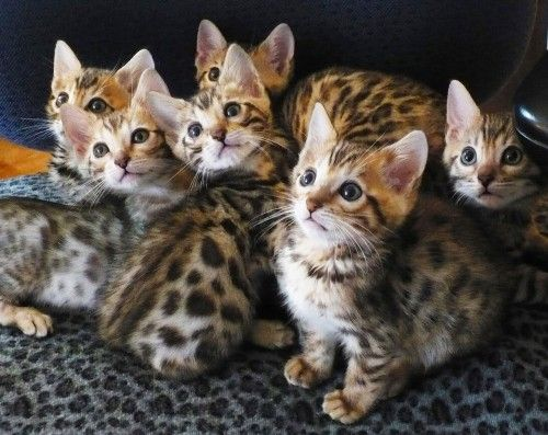 These Kittens Look Awesome Love Their Markings I Don T Really