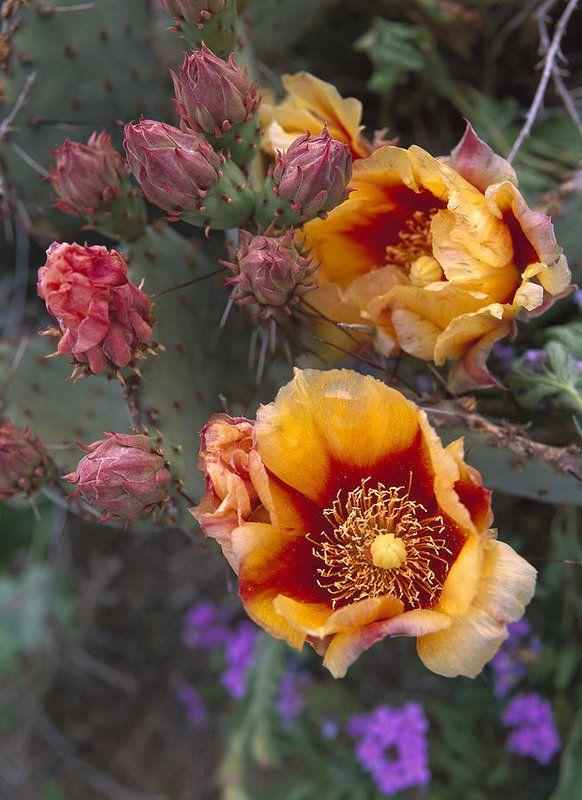 Opuntia Opuntia Sp In Bloom by Tim Fitzharris.
